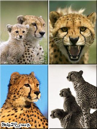 Картинки на мобильный гепарды, скачать бесплатно