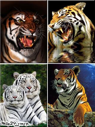 Картинки для мобильного телефона, тигры, скачать бесплатно